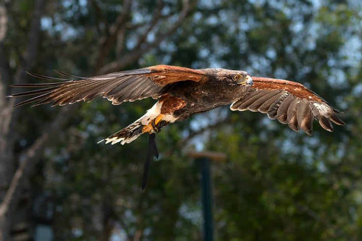 Harris' hawk in the World of Birds Show at the L.A. Zoo