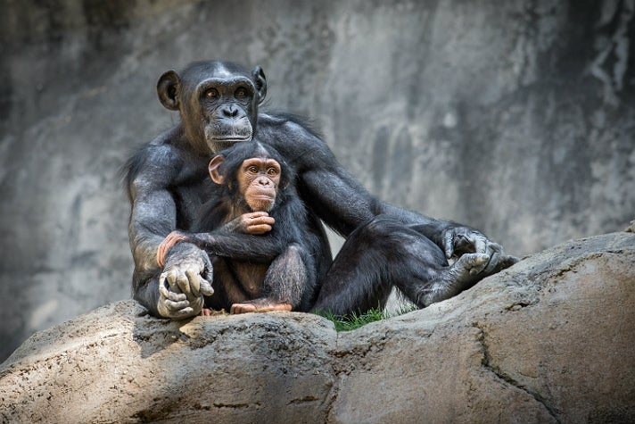 "Gracie and Kima, ""Chimpanzees of the Mahale Mountains"" at the L.A. Zoo"