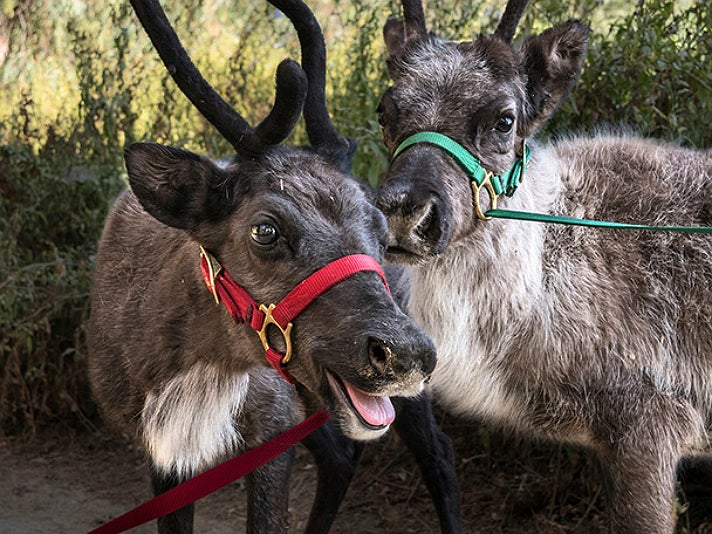 Reindeer Romp at the Los Angeles Zoo