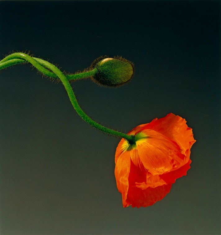 "Robert Mapplethorpe, ""Poppy,"" 1988"